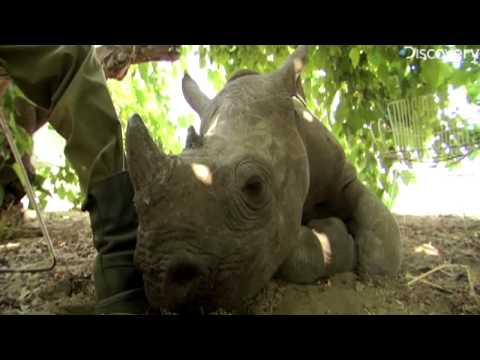 Poaching Endangers Black Rhinos