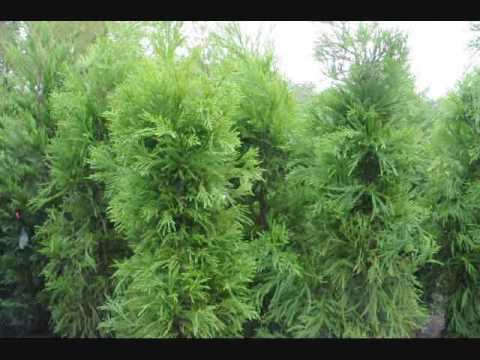 Plant a fast growing screen as a windbreak youtube for Fast growing fence covering plants