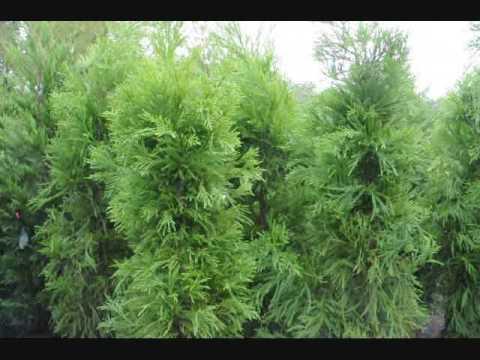 Plant A Fast Growing Screen As A Windbreak Youtube