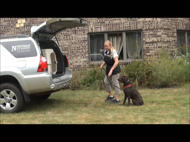 Coco (Chocolate Labrador Retriever) Dog Training Video