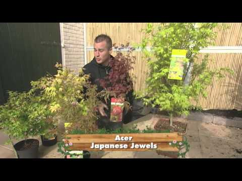 media grafting japanese maples video