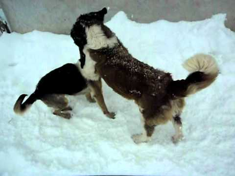 st bernard vs german shepherd - YouTube
