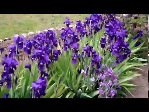 Flores Lirios Casariche Sevilla 08042010