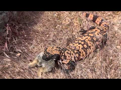 Gila Monster Eating Rabbit.m4v video