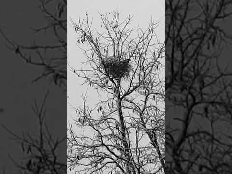 Elster baut das Nest aus