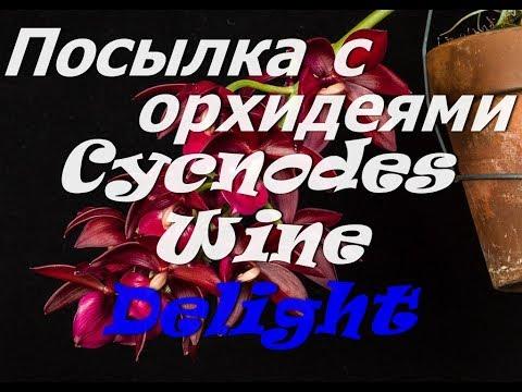 Посылка с орхидеями. МОРКОВКА С ЦВЕТОНОСОМ.Cycnodes Wine Delight