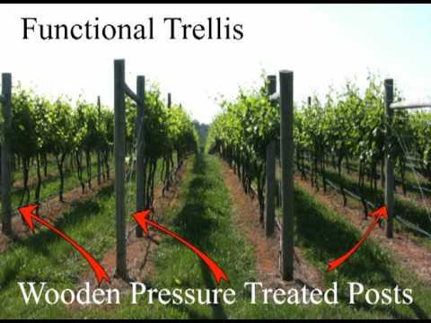 Grape Trellis Systems Youtube