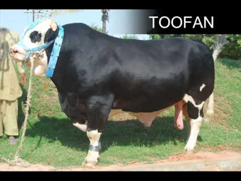 SHAH CATTLE FARM COW MANDI 2009 LATEST MUST CHECK