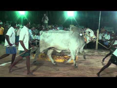 ongole bull show