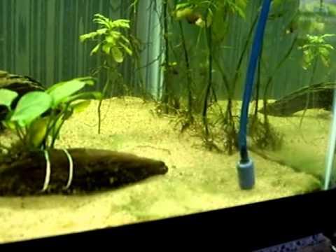 Blue Green Algae Cyanobacteria Aquarium Treatment 6 Youtube