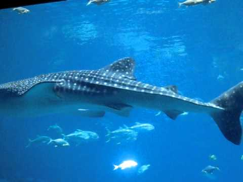 GA Aquarium Great White Shark - YouTube