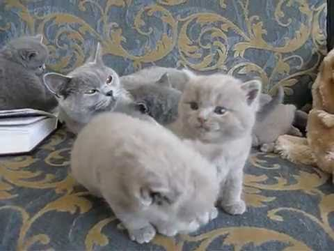 Британские котята  в возрасте одного месяца
