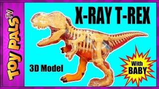 X Ray Tyrannosaurus Rex DINOSAUR Anatomy Model with T-Rex Baby