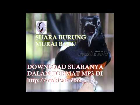Suara Burung Murai Batu Omkicau - Download Format Mp3 video