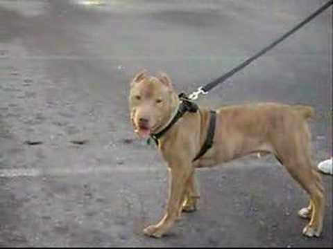 Tribute to red nose pitbull ( veron ) Video