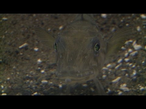 Japan aquarium shows mysterious clear-blood fish