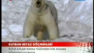 kutup ayıları tehlikede.akellinciyil.com.mp4