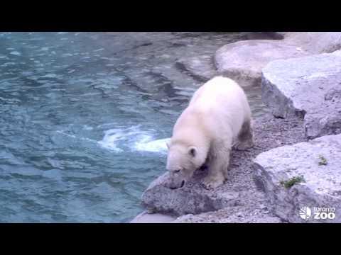 Humphrey Explores the Big Polar Bear Habitat