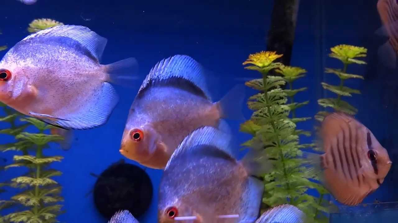 Freshwater aquarium fish youtube best freshwater for Youtube fish tank