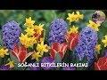 Lale, Sümbül, Nergis Soğanları (Tulipa, Hyacinthus, Narcissus) Nasıl Yetiştirilir ?.mp3