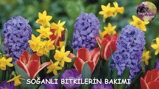 Lale, Sümbül, Nergis Soğanları (Tulipa, Hyacinthus, Narcissus) Nasıl Yetiştirilir ?