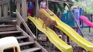 Still Laughing   Funny Dog Videos Compilation V5     YouTube 360p