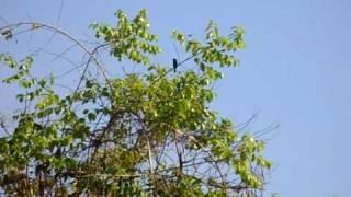 Bicudo na natureza, na zona rural proximo a Cidade de Cerejeiras no Estado de Rondônia - Parte 3
