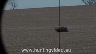 Roe Buck And Wild Boar Hunting in Hungary Tógazda Safari HD