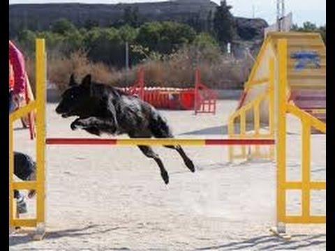 Entrenamiento de perros para AGILITY deporte canino