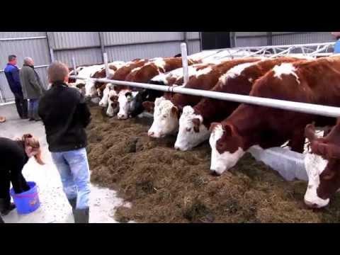 bouw deel 10 kinderboerderij en zorgboerderij de Veldmuis koeien 1x op stal