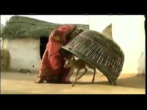 Woman In India Breastfeeding Animal video