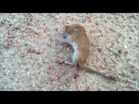 Ong giết chết con chuột