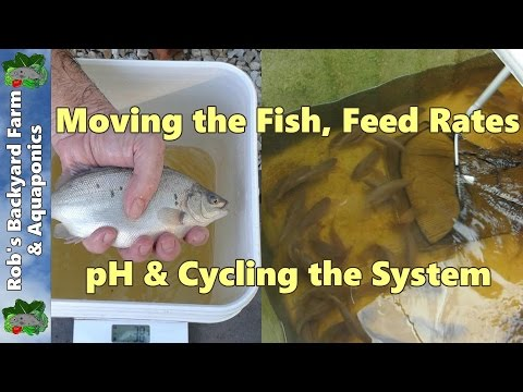 Backyard Farm Aquaculture  (RAS) Vlog.. Moving the fish, feed rates, pH & cycling the system..