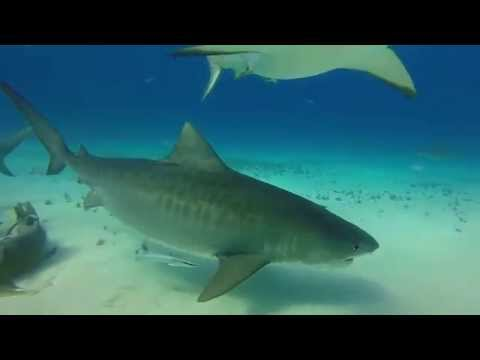 The Sharks of Tiger Beach