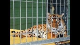 Tiger dangerous voice in B.W.P zoo by Happy world