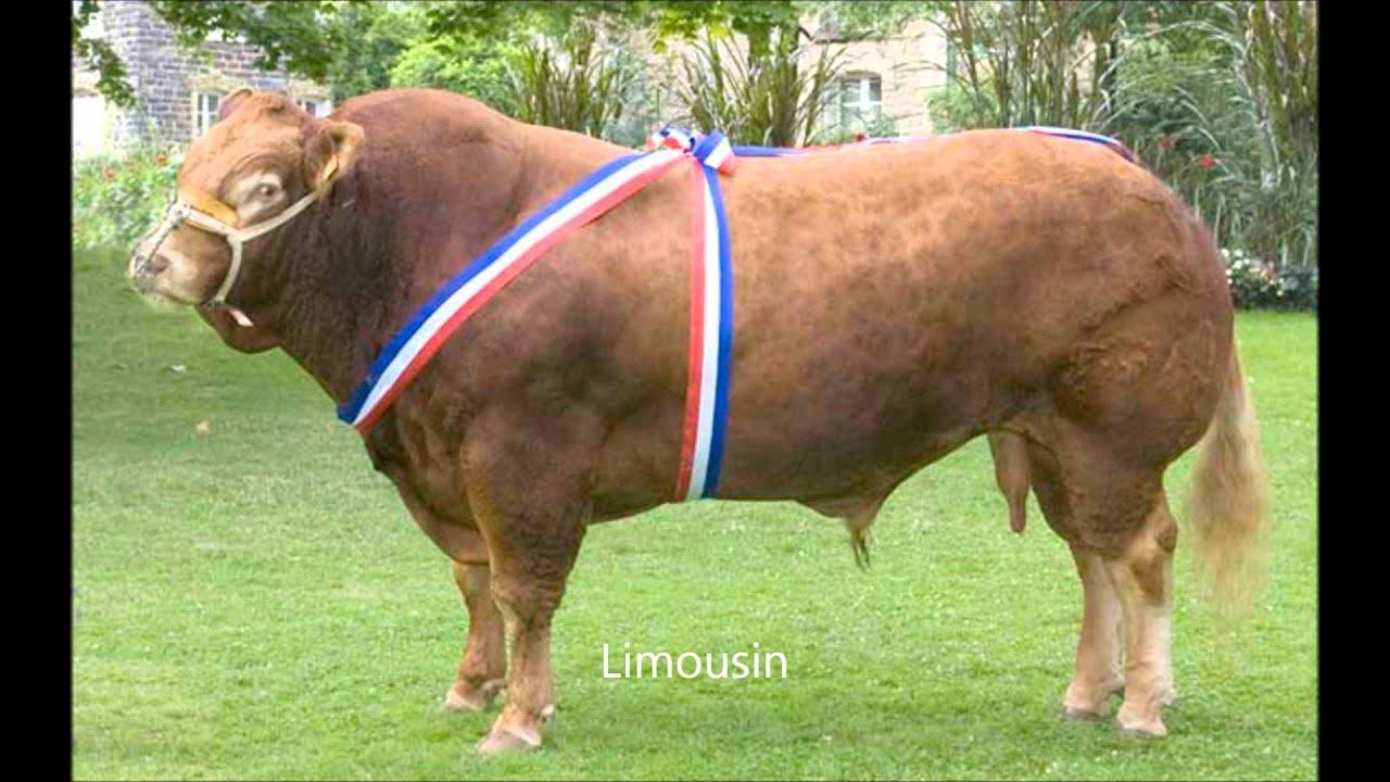 Les plus belles races bovines youtube for Les plus belles moquettes
