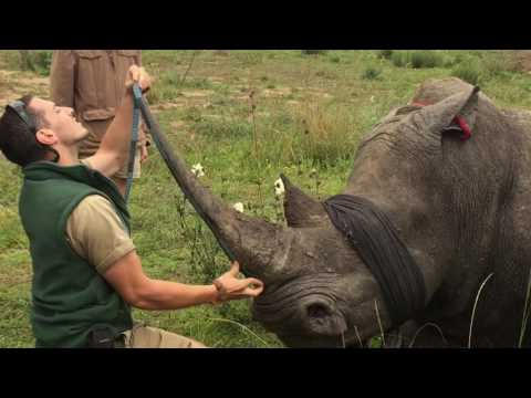 Saving Rhinos, one horn at a time