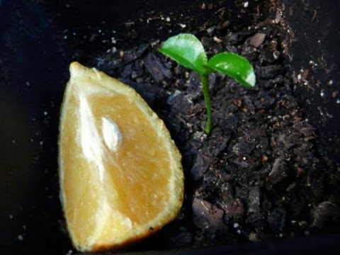 How To Grow Orange Trees From Seed - The EASY Way!!!!