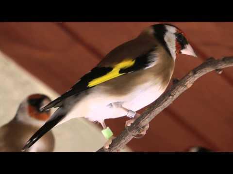 Vita lCanary - Goldfinch Major