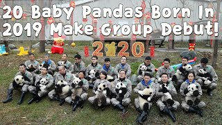20 Baby Pandas Born In 2019 Make Group Debut! | iPanda