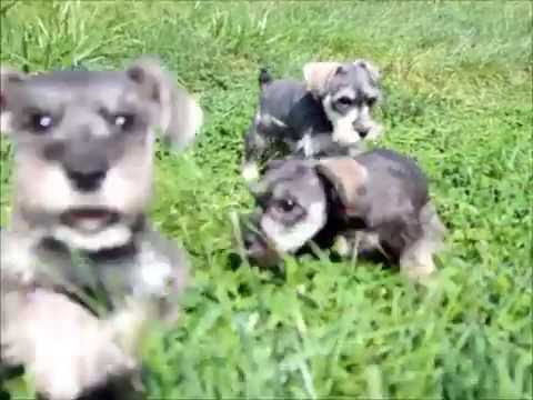 Puppies for Sale - Miniature Schnauzer Puppies: Ozzy. Mickey. and Bindy