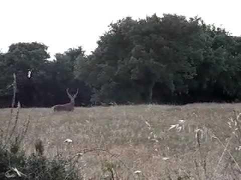 cervo a ingurtosu