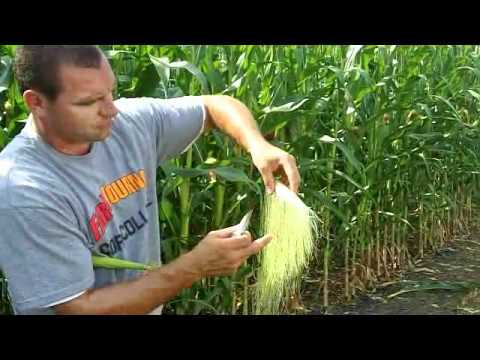 Shake Corn Ears in the Field to Assess Pollination