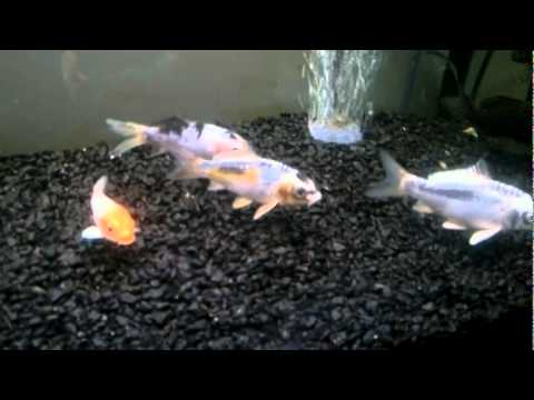 Koi carp in fish tank grade a youtube for 10 gallon koi tank