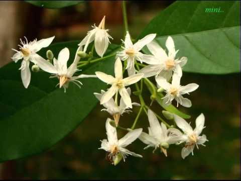 Poove Poove Paala Poove Manamithiri Karalil Thayo..!!(mini Anand) video