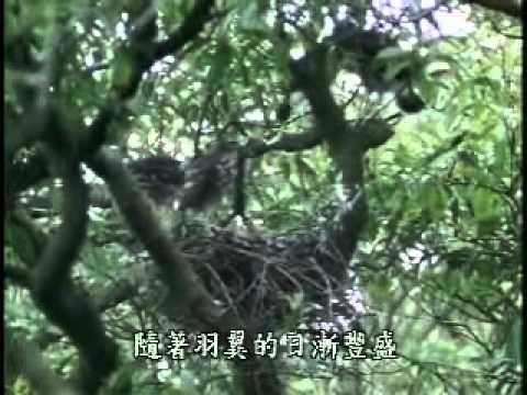 【陽明山國家公園管理處】草山鷹飛-松雀鷹雛鳥學飛過程