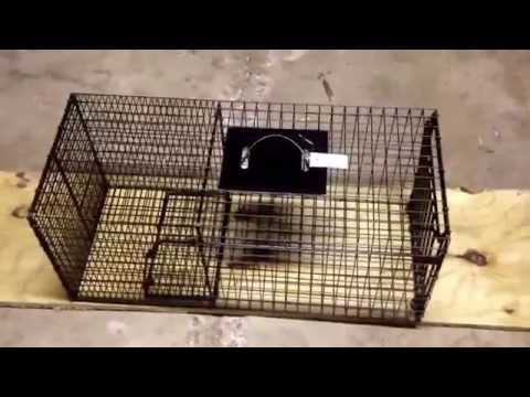 Cage trap review of the bridger raccoon trap