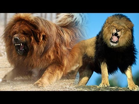 Chinese zoo tries to pass off dog as 'African Lion'
