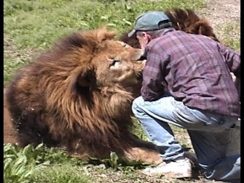 Gaged Animal Attack Lion, World's Largest Chimp, Snake, Elephant, Gorilla, Tiger, Leopard