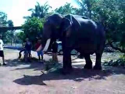 Elephant Eating Coconut an Elephant Eating a Coconut